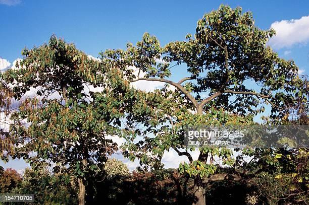 Empress tree specimens Scrophulariaceae