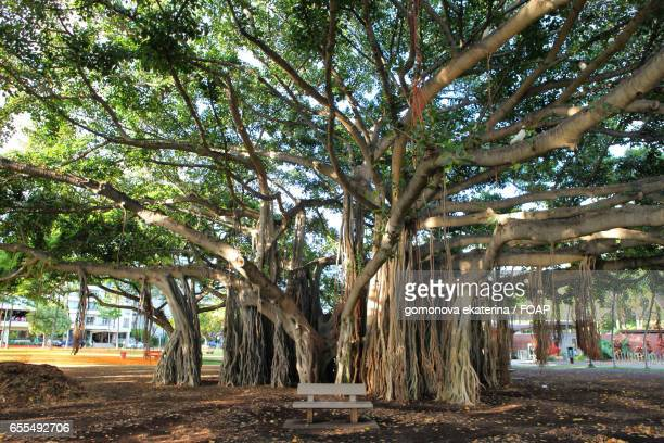 empty bench below banyan tree - banyan tree stock pictures, royalty-free photos & images
