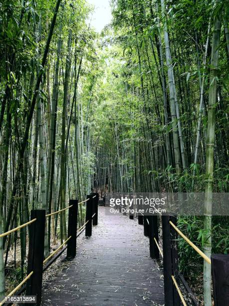empty footpath amidst bamboo grove - jeju stock photos and pictures