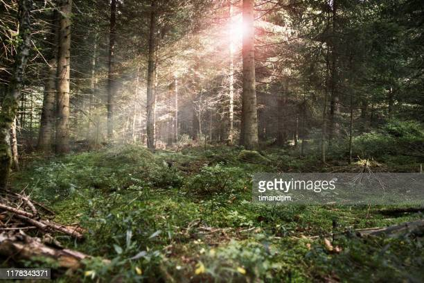 empty forest with beams of light passing through the treesthrough the trees - wald stock-fotos und bilder