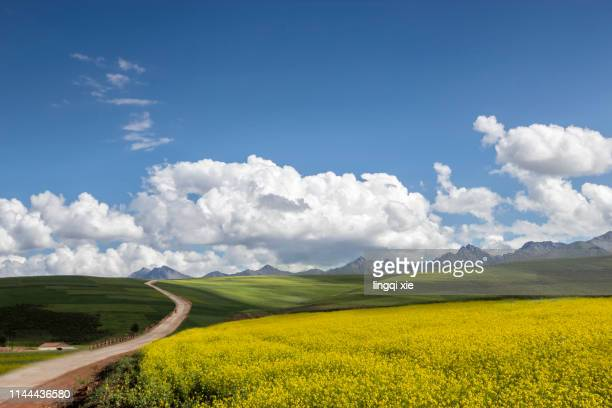 empty mountain road in the qinghai-tibet plateau in western china - oilseed rape stock pictures, royalty-free photos & images