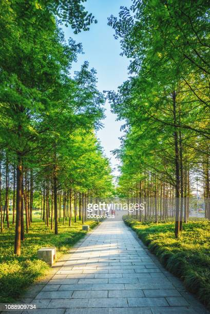 empty path lined with trees, china - image stockfoto's en -beelden
