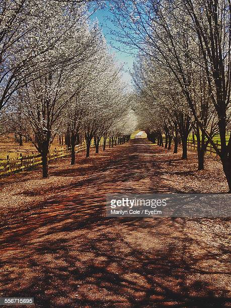 Empty Road Amidst Cherry Trees Against Sky