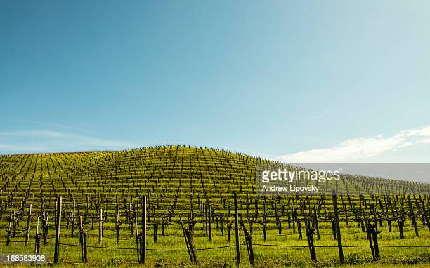 Empty Vineyard In Sanoma Valley