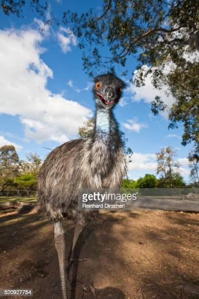 emu, australia - emu stock pictures, royalty-free photos & images