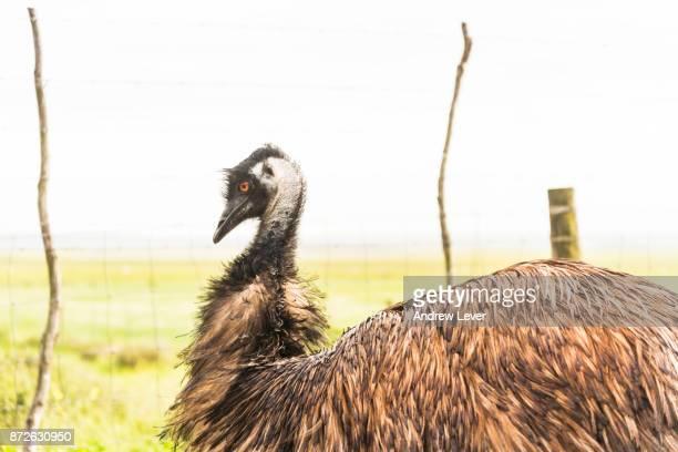 emu bird. - emu farming stock pictures, royalty-free photos & images