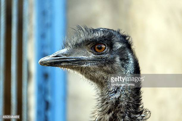 Emu birds in a farm at Farukhnagar on November 19 2013 in Gurgaon India Emu is the largest bird native to Australia and the only extant member of the...