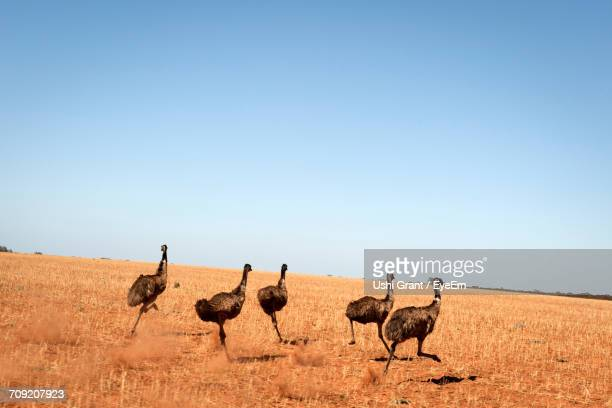 Emu Birds Running On Arid Landscape Against Clear Sky