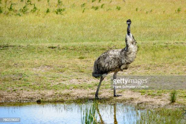 emu by puddle on field - frank schrader stock pictures, royalty-free photos & images