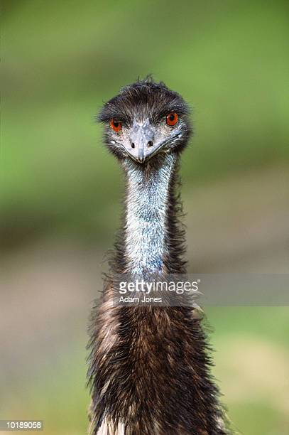 Emu (Dromaius novaehollandiae) close-up