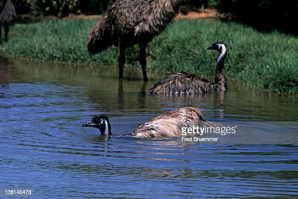 emu, dromaius novaehallandiae, bathing in desert pool. western australia - emu stock pictures, royalty-free photos & images