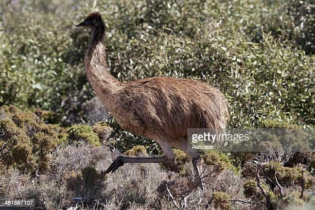Emu Dromaius novaehollandiae Shark Bay Western Australia Australia