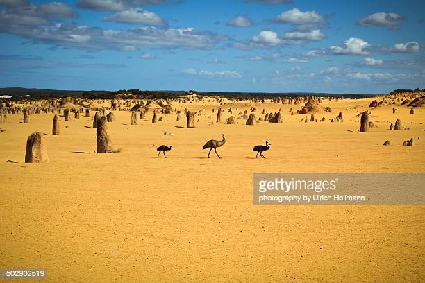 Emu family at Nambung National Park, WA