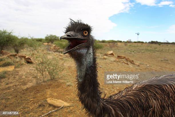 A emu fondly named 'Stan' is seen during a water run abandoned just after hatching he was found while mustering on a neighbouring property and was...