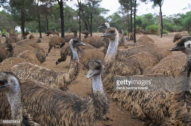 emu herd - emu farming stock pictures, royalty-free photos & images