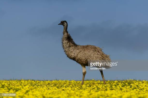 Emu in canola field, Port Lincoln, South Australia, Australia