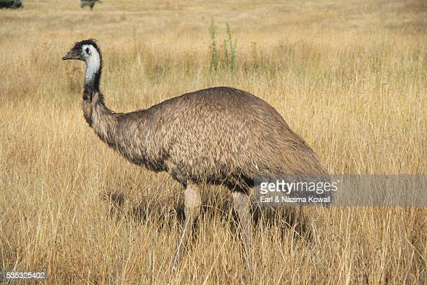 emu in meadow - emu farming stock pictures, royalty-free photos & images