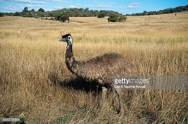 emu in pasture - emu farming stock pictures, royalty-free photos & images
