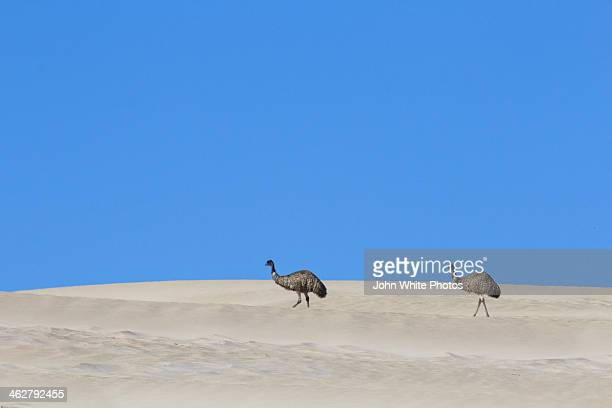 Emu in sand dunes. Sleaford Bay. South Australia