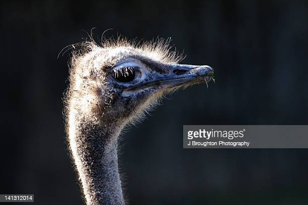 Emu in sunlight