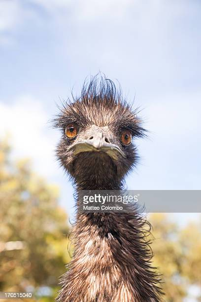 Emu looking at camera, close up, Australia