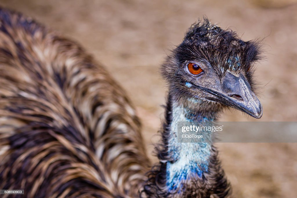 Emu looking at the camera, : Stock-Foto