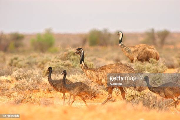 Emu male with large chicks on the extensive chenopod plains Boolcoomatta Bush Heritage Australia Reserve northeastern South Australia