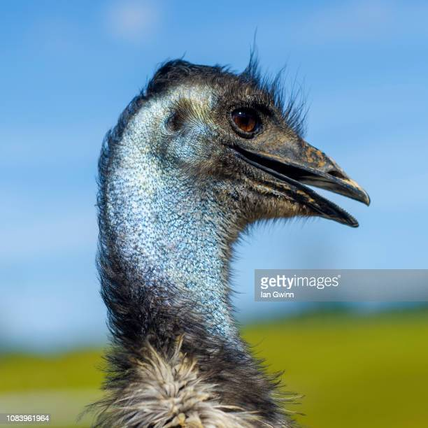 emu - ian gwinn stock pictures, royalty-free photos & images