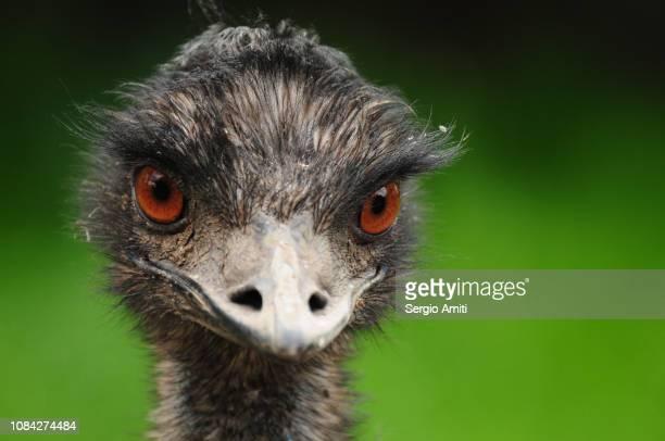 emu - beak stock pictures, royalty-free photos & images