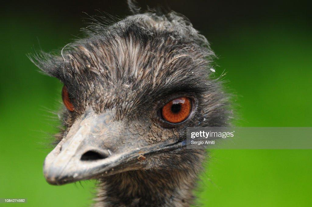 Emu : Stock Photo