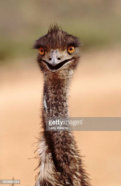 emu - emu stock pictures, royalty-free photos & images