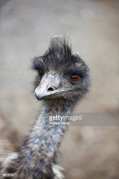 emu - andrew dernie stock pictures, royalty-free photos & images