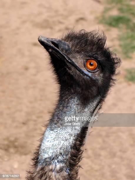 emu (dromaius novaehollandiae) portrait, buenos aires, argentina - emu stock pictures, royalty-free photos & images