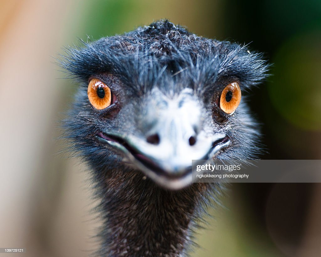emu stock photos and pictures getty images