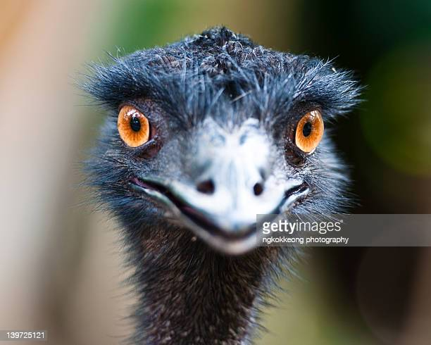 emu stare - emu stock pictures, royalty-free photos & images