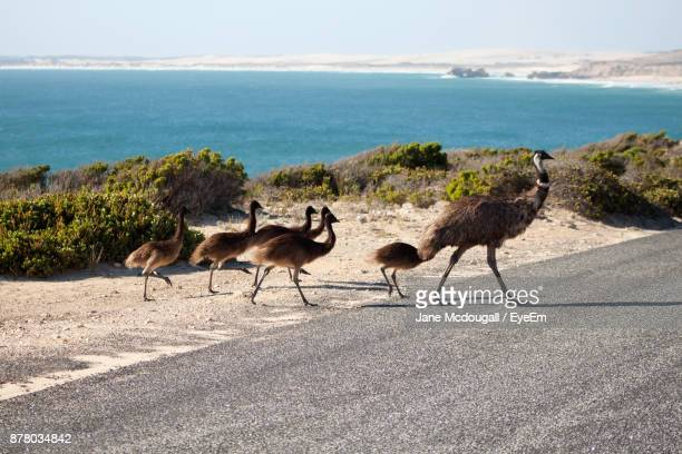 Emu With Young Birds On Road