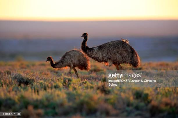 Emus (Dromaius novaehollandiae), adult couple at sunset, Sturt National Park, New South Wales