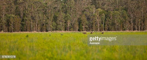 Emus Dromaius novaehollandiae in a plantation of Narrowleaved teatrees Melaleuca alternifolia Main Camp Casino New South Wales Australia