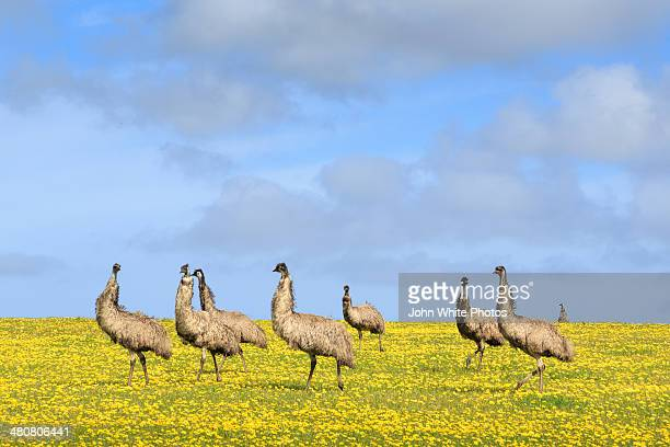 Emus. Eyre Peninsula. South Australia