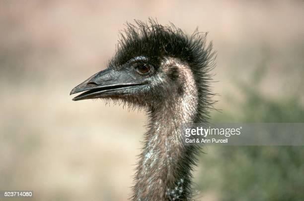 Emu's Head
