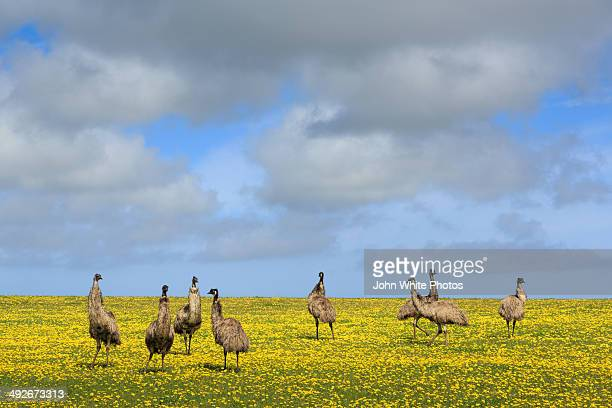 Emus in a field of daisies