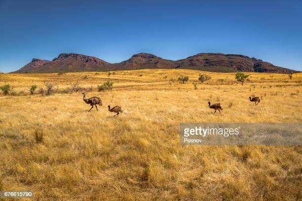 Emus in front of  Wilpena Pound at Flinders Ranges, South Australia