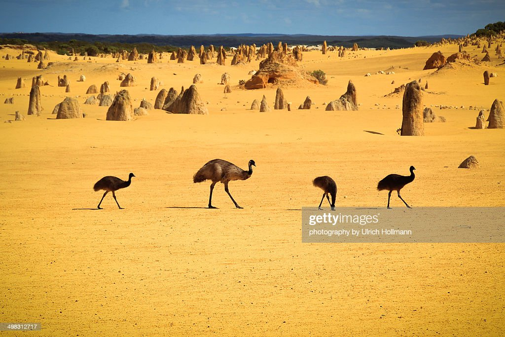 Emus in Nambung National Park : Stock Photo