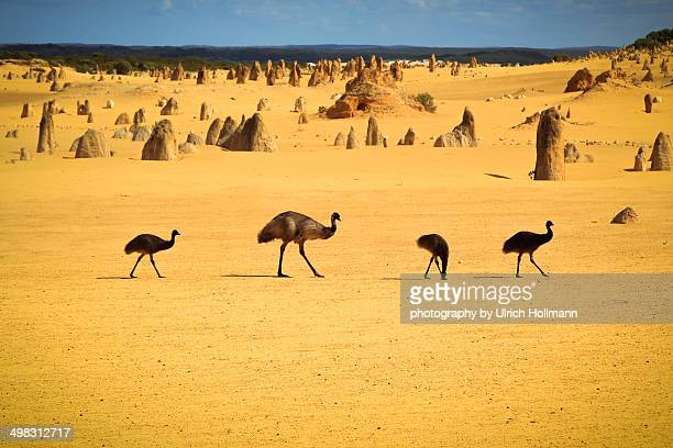 emus in nambung national park - emu stock pictures, royalty-free photos & images