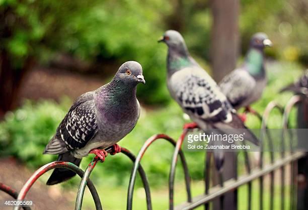 en el parque - pigeon stock pictures, royalty-free photos & images