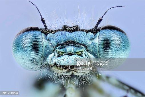 Enallagma cyathigerum (common blue damselfly), close-up