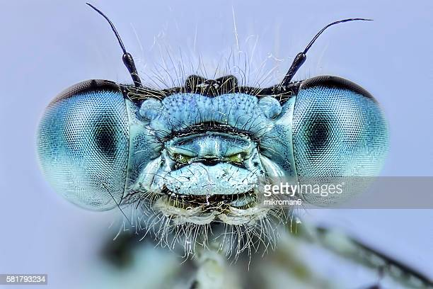 Enallagma cyathigerum (common blue damselfly), close-up