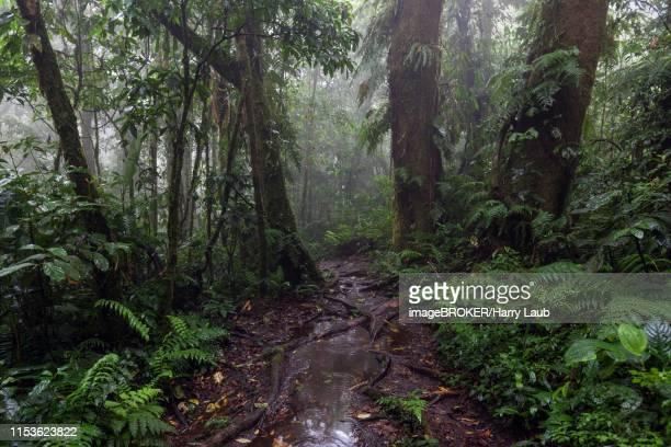 encantado trail, hiking trail through dense vegetation in cloud forest, reserva bosque nuboso santa elena, guanacaste province, costa rica - guanacaste stock pictures, royalty-free photos & images