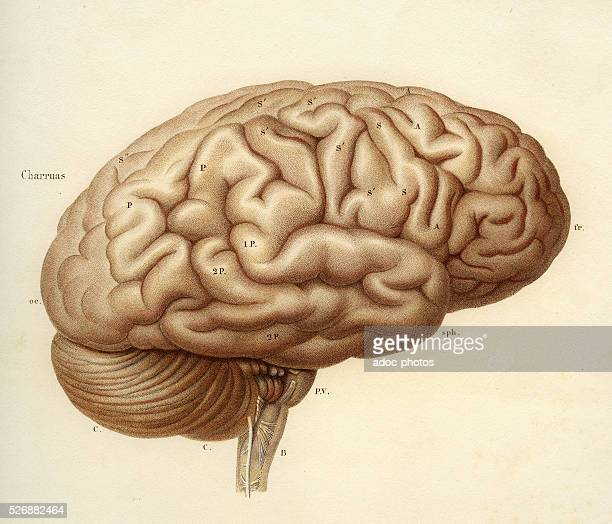 Encephalon of the adult Anatomical plate of the 19th century