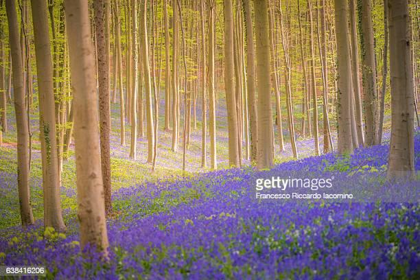 enchanted forest, hallerbos, belgium - iacomino belgium foto e immagini stock